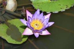 Purpurrote oder blaue Lotus Flower Lizenzfreie Stockfotos