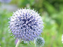 Purpurrote oder violette Blume im Garten Stockbild