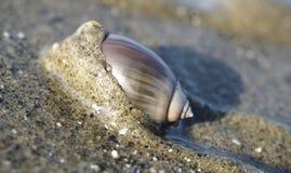 Purpurrote Olive Snail auf dem Strand lizenzfreie stockbilder