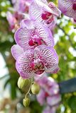 Purpurrote Orchidee Stockbilder