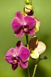 Purpurrote Orchidee Lizenzfreie Stockbilder