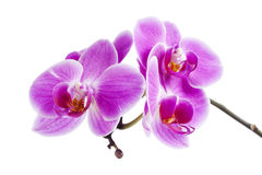 Purpurrote Orchidee Stockfotografie