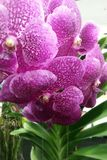 Purpurrote Orchidee Stockbild