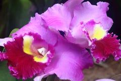 Purpurrote Orchidee 3 Stockfoto