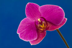 Purpurrote Orchidee Stockfotos