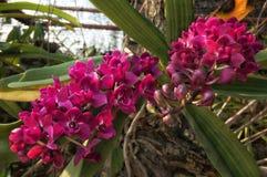 Purpurrote Orchidee Lizenzfreie Stockfotografie