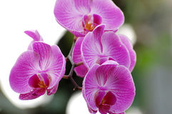 Purpurrote Orchidee Stockbilder