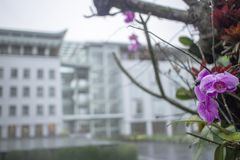 Purpurrote Orchidee Anggrek Bulan stockfoto