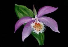 Purpurrote Orchidee auf einem schwarzen Hintergrund lizenzfreie stockfotos