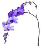 Purpurrote Orchidee auf weißem Hintergrund Stockfotos