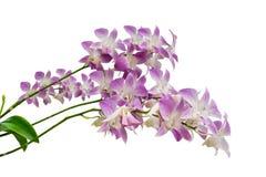 Purpurrote Orchidee blüht die Niederlassung, die auf weißem Hintergrund lokalisiert wird Lizenzfreie Stockbilder