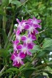 Purpurrote Orchidee in einem Garten stockbilder