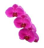 Purpurrote Orchidee getrennt auf Weiß Stockfoto