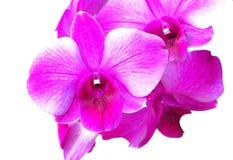 Purpurrote Orchidee getrennt auf weißem Hintergrund Stockfotos
