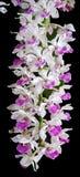 Purpurrote Orchidee lokalisiert auf schwarzem Hintergrund stockfoto