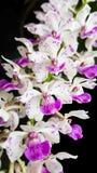 Purpurrote Orchidee lokalisiert auf schwarzem Hintergrund stockfotos