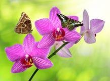Purpurrote Orchidee mit Schmetterlingen Lizenzfreie Stockfotografie