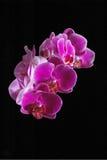 Purpurrote Orchidee mit schwarzem Hintergrund. Lizenzfreie Stockfotos