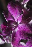 Purpurrote Orchidee mit Tautropfen Stockfoto