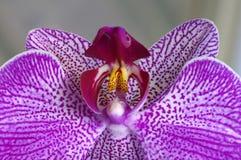 Purpurrote Orchidee-Nahaufnahme Lizenzfreie Stockfotos