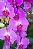 Purpurrote Orchidee, Nahaufnahme Lizenzfreies Stockfoto