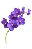 Purpurrote Orchidee Vanda lokalisiert auf weißem Hintergrund Stockbilder