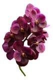 Purpurrote Orchidee Vanda lokalisiert auf weißem Hintergrund Lizenzfreie Stockfotografie