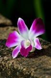Purpurrote Orchideeblume Stockbilder