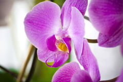 Purpurrote Orchideeblumen Stockbild