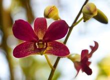 Purpurrote Orchideen-Blume lokalisiert auf weißem Hintergrund lizenzfreie stockfotografie
