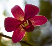 Purpurrote Orchideen-Blume lokalisiert auf weißem Hintergrund lizenzfreie stockbilder