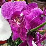 Purpurrote Orchideen in der Blume stockbilder