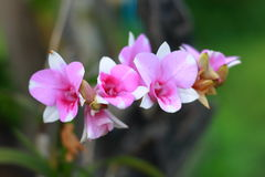Purpurrote Orchideen in der Natur stockfotos