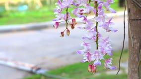 Purpurrote Orchideen, die durch Wind durchbrennen stock video