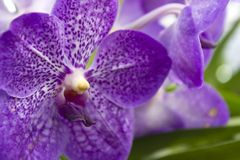 Purpurrote Orchideen (Vanda) Lizenzfreie Stockfotografie