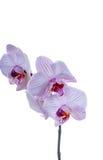 Purpurrote Orchideenblumen auf einem Stamm Lizenzfreie Stockfotos