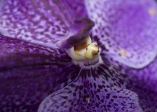 Purpurrote Orchideenmakronahaufnahme Lizenzfreie Stockfotografie