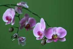 Purpurrote Orchideephalaenopsis-Zen-Blume Lizenzfreie Stockbilder