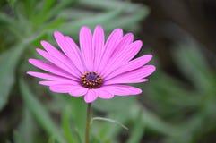 Purpurrote Osteospermum-Blume Stockbilder