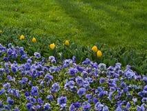 Purpurrote Pansies mit gelben Tulpen Lizenzfreie Stockfotos