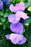 Purpurrote Pansies mit Wasser-Tropfen Lizenzfreie Stockfotografie