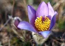 Purpurrote Pasqueflower-Nahaufnahme lizenzfreie stockbilder