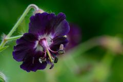 Purpurrote Pelargonie im Garten stockbilder