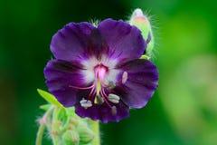 Purpurrote Pelargonie im Garten stockbild