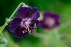 Purpurrote Pelargonie im Garten stockfotografie