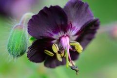 Purpurrote Pelargonie im Garten stockfoto