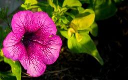 Purpurrote Pelargonienblume Lizenzfreies Stockbild