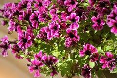 Purpurrote Petunie blüht in der Zeit des Gartens im Frühjahr Flache Schärfentiefe Lizenzfreies Stockbild