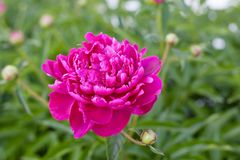 Purpurrote Pfingstrosenblumen stockbilder