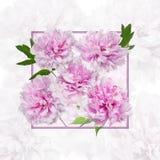 Purpurrote Pfingstrosenblumenblätter Stockbild